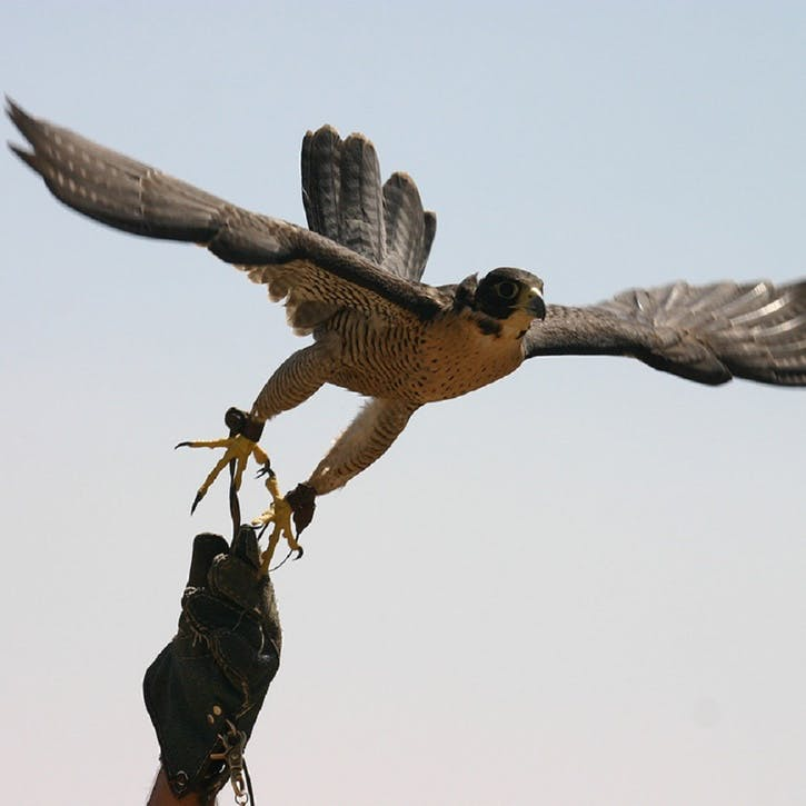 Introductory Falconry for Two